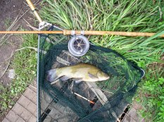 Picture of a Tench in a vintage landing net