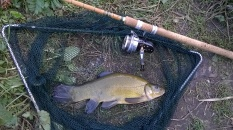 Picture of a Tench in vintage landing net with vintage Hardy Altex fishing reel