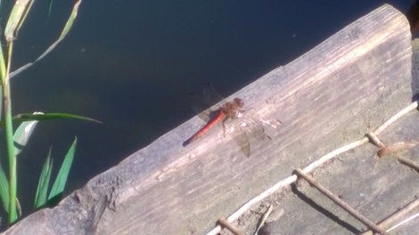 Picture of a small Damsel fly