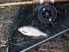 Picture of a Roach in a landing net with an Edgar Sealey Floatcaster rod with Allcocks Aerial Popular reel
