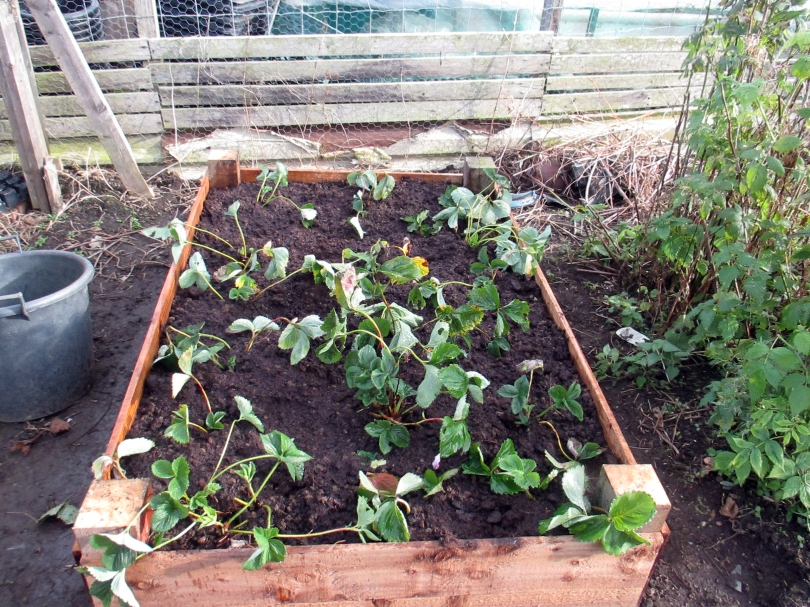 Picture of a raised bed of new strawberry plants