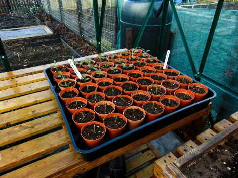 Picture of a tray of transplanted seedlings into three inch pots on a bench in a greenhouse