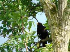 Picture of a Blackbird singing in a tree