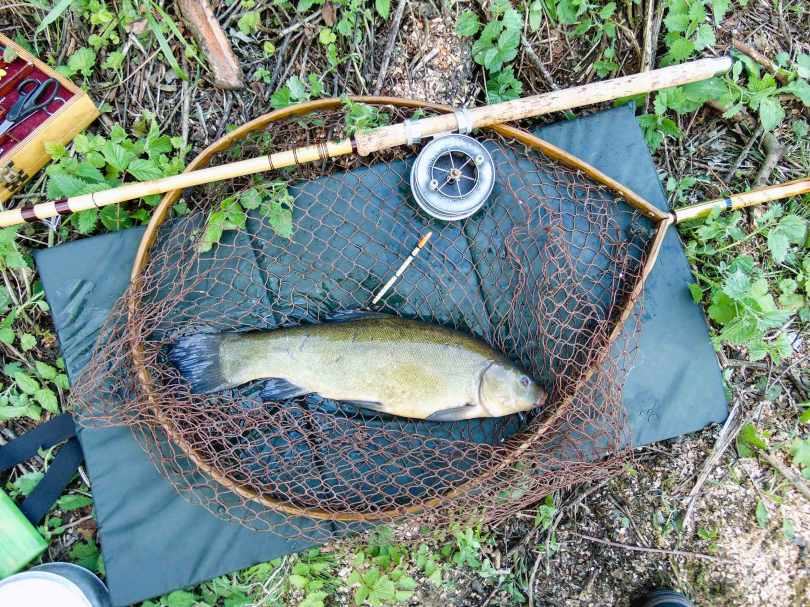 Picture of a Tench in a vintage Ash loop fishing net