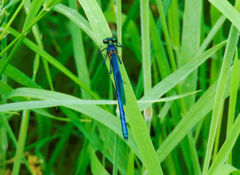 Picture of a Damsel fly on a blade of grass