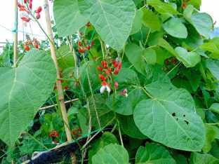Picture of flowers on a broad bean plant