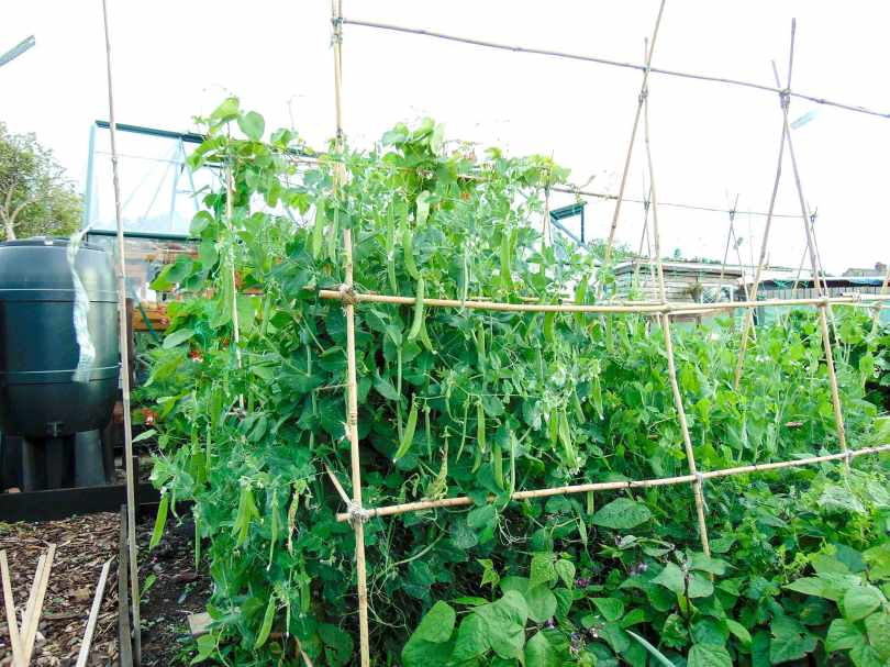 Picture of pea pods on a pea plant