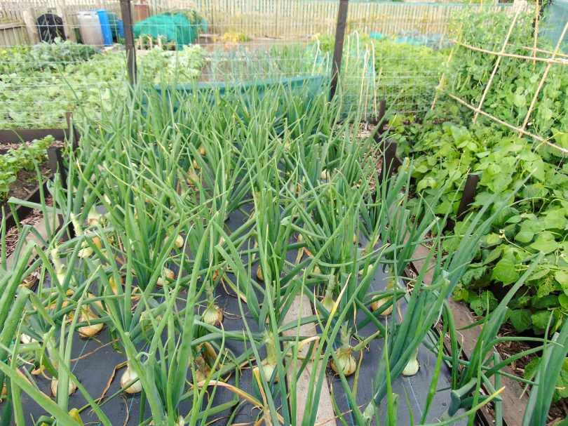 Picture of a raised bed of giant onions