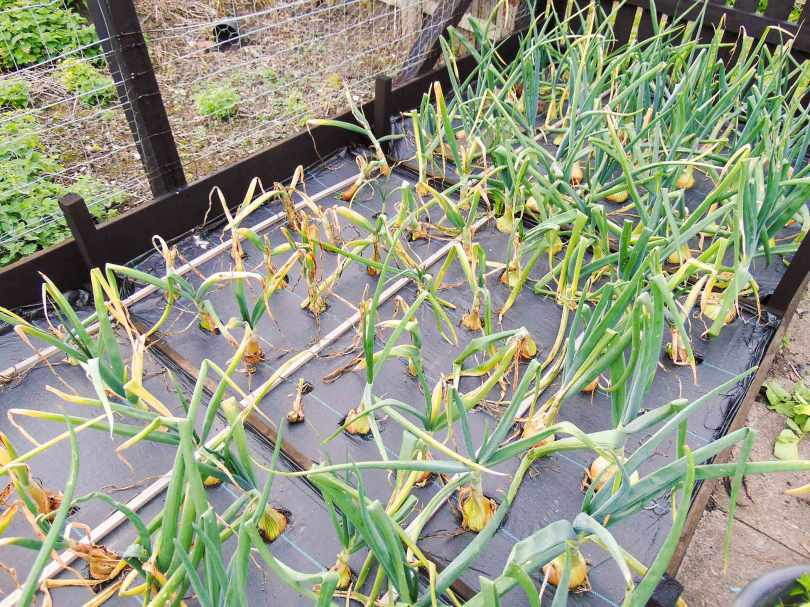 Picture of a raised bed of onions that have been damaged