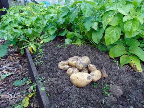 Picture of the first of the seasons potatoes lying on the soil in a raised bed in the allotment