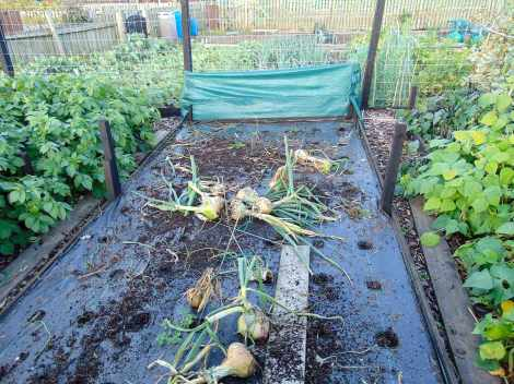 Picture of a raised bed with the remains of the seasons giant onions ready to pick up