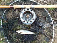 Picture of a small Roach with a Fred J Taylor rod and Allcocks Aerial fishing reel