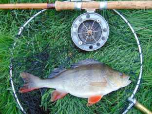 Picture of a river Perch with a Fred J Taylor fishing rod and Allcocks Aerial fishing reel