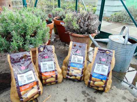 Picture of four varieties of seed potato - Nadine, Catriona, Arran Pilot and Duke of York