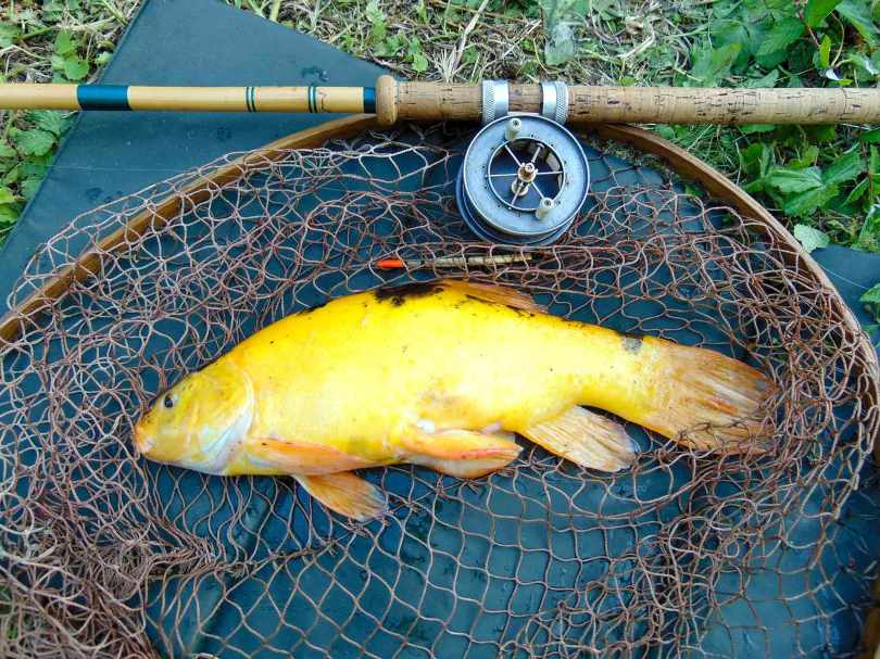 Picture of a Golden Tench in a vintage landing net